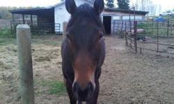 Bella is a very frendly 2 yr old tb mare. I got her at auction, she was off the track, has had 30 days on her. I have not rode her yet as she is in rehab for being abused and too thin. She is skinny as of now but is getting weight on her and looking