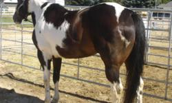 2D/3D Barrel Horse For Sale. 10yr old APHA reg'd mare, 15.2hh. Nice mare, very quick and athletic.  Ties well, great for farrier, easy to catch and load.  No gate issues. Needs experienced rider, too much horse for owner. Email for more info.  $4,900 obo