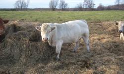 2yr old charley bull poled... asking 1800 obo