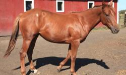Born July 6/09 Appendix,Chestnut filly, 15HH-should mature to 16HH Dam: Grade 16HH Buckskin QH Sire: You've Got Action, 16.2HH, REG TB, Liver Chestnut(proven race horse at both short and long distances, earned over 300K, race records upon request) Halter