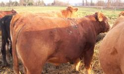 2yr old poled full blood limo bull asking 1800 obo