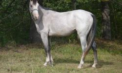 She is a beautiful horse ,    just we don,t have the time to break her,   she only halter broke.    sometime will be spooky,  she should work out tobe a big size horse I think she is about 14 HH now,   Asking 300,00 for her please call my cell