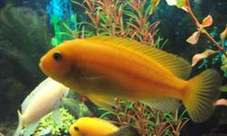 """I have 2 Red X Red Zebra Cichlids (African) for sale, 3.5"""" and very healthy, one male and one female. They have bred before, if that is your interest. I also have 1 Red Zebra Cichlid for sale, 3.5"""", healthy, active, male.   Asking $10 per fish, or all 3"""