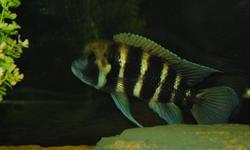 """3 adult Kigoma Frontosa for sale.  6"""" - 8"""" long. Need a large aquarium. $35.00 each or the 3 for $100.00 firm. Also have Ink fin Calvus for sale $5.00 each"""