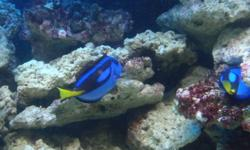 I have 2 blue tangs and they aren't getting along. Looking to sell one, or trade for another fish. I also have a few too many damsels. Looking for trades rather than money