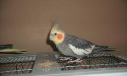 Selling 3 Cockatiel, 2 cages included (1 large and small), accessories and toys included If interested, please contact me one: Cell: 647-894-5710 Email: sssuddin@yahoo.com