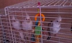 I have three cockatiels for sale which I am selling together. I recently got two kittens and they are a little bit obsessed with trying to attack my birds, so therefore I have to get rid of them and give them to a good home with caring owners. I am asking