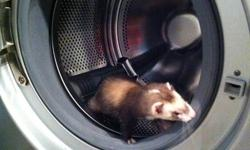 I have three ferrets for sale. Do not want to give them up but we plan on leaving the country and I cant take them with me. Ferrets were $249 each, ferret nation cage is $199.00. Almost a grand for these crazy fur balls. Selling for $400 They are