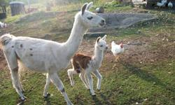 I have 3  Female Llama's for sale. Dot  and her  daughter Dolly, and Anti Ema are looking for good forever homes.  I am now unable to look after my animals for health reasons and need to find them  homes ASAP.   Dot and Ema are about 5 years old and Dolly