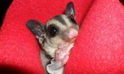 3 sugar gliders for sale...maggy 5 years, bandit 2 years and gaze 1 year. looking for 150 each