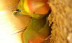 a couple male is green ?female is yellow green ?and have 5 hatch eggs . 3 month old blue ?gray ? all together $ 260.00