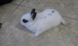 3 month bunnies. unknown gender because small age. Any questions please email. Thank you