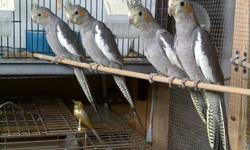 Hey I got 4 cockatiel that are 3 month old and are ready to go to a good home. Would make a Great Christmas Gift Will give a better deal if 2 or more are bought Will remove ad when all 4 are sold Thank You
