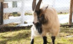 I have three Real Miniature Goats for Sale..   A breeding pare, includes mother and daughter.  I buck who would be a good breeding goat, came from Alberta.   Please contact Henry after 6:00pm for all the details.