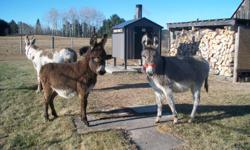 "Pedro is a solid chocolate weanling standard donkey jack. Should mature around 41-42"". Duke is a chocolate/white spotted weanling standard donkey jack. Should mature around 44-45"". Lilac is a pretty light grey weanling standard jenny. Should mature around"