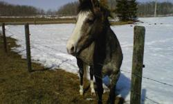 To my dismay I unfortunately have to sell my registered grey 3 y/o quarter horse mare due to lack of time for her training. Little Frosted Doc is her registered name.  She loads, ties, clips, halter broke and stands for the farrier.  She is a good little