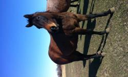Mia is a well started registered quarter horse mare. Dark bay/brown, currently stands at 14.1hh. Mia is friendly and good natured, always the first to come say hello. Loads, stands for the farrier, excellent ground manners. UTD on vaccinations. This girl