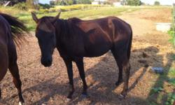 Peanut is a 3 year old QH cross gelding. He is 14 hands and should stay under 14.2. He's a very easy keeper, can live outside with a shelter or is fine to come in at night. He is sound, and sane. Will make a nice hunter or dressage mount, but will be