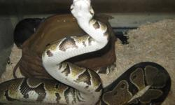 i have 1 male ball python for sale 3 years old comes with 40gal tank 1 rock 1 rock water dish 1 rock hide out 1 beg of beding come with plung in head pad under tank  coral tree and stick never bite n is about 4 feet long best offer takes him im selling