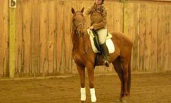 Butterscotch has had 90 professional training. During her training, she had tones of groundwork done. Once backed, she worked mainly in walk and trot; she understands her lateral work including a small shoulder in. She has done some canter work.