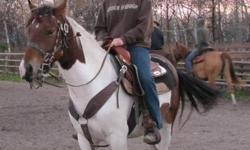 """I'm selling my 3 year old grade paint mare. Diamond In The Ruff aka """"Diamond"""" is green broke and needs an experianced rider. The pictures are of her when I broke her at the age of 2. She is beautiful and loves to be pet. She is also due to have a foal in"""