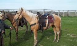 3 year old Palamino Gelding broke to ride needs experianced rider. Been used in pasture headed and healed off of. Asking $2500.00 or OBO for more info phone calls ONLY (306)874-2883