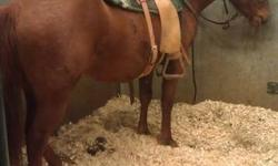 She is a 3 yr old sorrel mare, approximately 14hh . Broke to ride, very quiet. Been riding her in an indoor arena and outside in the field. Would make a great horse for a kid. Will be rode regularly until sold. More pictures to come