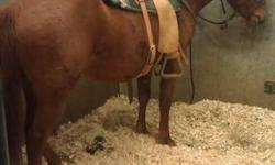Ladybug is a little sweet heart. She is broke to ride but still needs miles on her. She was used in the Western Ranch and Cow Horse program at Lakeland college but the student who had her couldnt continue her training, i purchased her and have rode her a