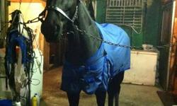 Looking for a home for my standardbred mare Story.  She would make a great pet or saddle horse, very quiet and loves attention.