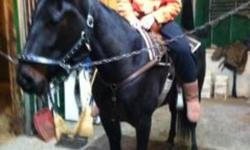 This mare would make a great pet or saddle horse.  Rosie is green broke to the saddle, very quiet and loves attention.