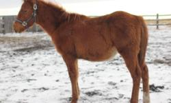 Sire of all three foals is Young N High (High Brow Hickory x Diablos Young Gun x Young Gun), NCHA earner. Young N Peppy, aka Bob (sorrel colt) has fantastic conformation, a cute baby doll head, strong straight legs, short back and a deep chest. His dam is