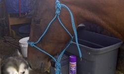 Paisley is a 3 year old bay Morgan filly standing around 14.1HH. Paisley is a sweetheart who likes to be brushed and have attention. She is easy to catch and load. Paisley is utd on shots and deworming, She stands for fly spray and the ferrier, walks and