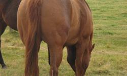 """Streakers Paradise"" This mare would make an outstanding Broodmare or Barrel Prospect. Halter Broke. $1500 OBO                    Streakinisanattitude - Streakin La Jolla                                                               - Panash Streakers"