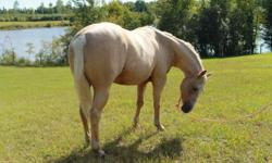 Absolutely beautiful palomino mare, 3 years old, stands 15hh, halter broke, friendly, ridden once as a 2 yr old, baths, ties, needs lots of love and time. Nothing wrong with this little horse, she is healthy and sound sadly no time for her. unregistered