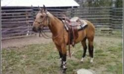 3 yr Old, Registered QH, Buckskin Gelding, will be 4 in July. Started - Had 1 month training fall of 2010 as a 2 yr old.  Lightly ridden in the arena and on trails. - Had 2 1/2 months riding this fall (2011), some arena work but mostly on trails.  - Can