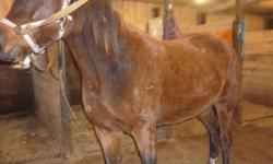 I'm daughter has a 14 House Mix 3y/o female, she is Green broke. she in good health, she 14.3 hh