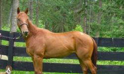 Exceptionally well breed 3 yr old purebred Quarter Horse Filly. Breeder never registered her as a foal, but i have all paperwork for new owners to pick her reg name!  This filly is super sweet and friendly and loves attention! Easy to catch, stands very
