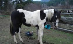 Memphis is turning three in the spring.  I had done all of his ground work, he farriers, baths, ties and has been loaded once. he is 15hh now and will probably be taller, he is gentle and friendly,  he has saddled and lunges well good stop and I have sat