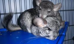 4 Chinchillas for sale $40 each mother and father are 2 years old and 2 babies that were born September 1st 2011. Also Large 5 foot by 3 feet by 3 feet cage  for $100.