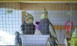Available Immediately 4 Cockatiels (3 Regular 1 Fancy) Comes with Toys/Food and Water Dishes 2 Bags of Food/Digestive Gravel $475 For All   WILL SELL SEPARATELY $100 -- Regular $115 -- Fancy
