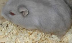 I have four dwarf hamsters to give away for free. These aren't the original pictures but they look exactly like that. I have two of the tan ones and two of the grey ones to give away. They are very cute! If you have any questions feel free to ask.