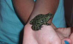 ...4 FIRE BELLIED TOADS FOR SALE....INCLUDES TANK AND LID....