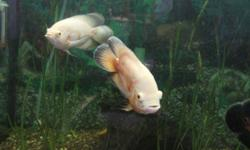 """For sale are 2 Tigers oscars and two Lutino Oscars. They are all approx. 6"""" - 7"""" in length.   $15 each or all 4 for $40. Fish is still available if the ad is here. Just a note - these Oscars will need atleast 75 gallon tank based on their current size."""