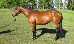 """Beautiful bay.  Super quiet and friendly.  14.2 hh and has had regular worming and ferrier work.  """"Hollywood Dun It"""" on her papers.  This mare has a great pedigree behind her, she has been handled since birth and is a quick learner.  Unfortunately I have"""