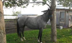Indi is a beautiful blue roan with white socks about 14.2 to 14.5, may grow some as previous owner indicated she had draft breeding, but doesn't show any traits.  Quiet and occassionally stubborn.