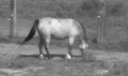 I am offering a 4 year old buckskin pony mare. Has had all ground work done. And has been backed, she didn't do a thing just walked around. I was told she was broke before I bought her... I wouldn?t say that because I don?t know for sure. Very sweet