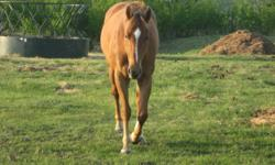 Registered AQHA gelding. 4 years old, 15.3 hh, up to date on vaccinations and farrier work. Lots of ground work done and started under saddle this spring (20 rides). Quiet, good natured and loves to be with people. This boy needs a job - he has a long