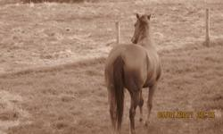 Sugar is her name, she is 4 years old, a purebred american quarter horse. She is sorrel. She is simply to much for me. She has great potention to excel to whatever challenge you put her towards.She can work for days and still be full of energy. She is