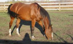 Remington is a 4 year old bay gelding with awesome potential. He has a really nice personality and is willing to learn. He is 16 hands high. He is very handsome and full of energy. He is a joy to watch and ride. He enjoys jumping or western riding but