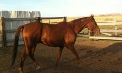 Selling my four year old registered gelding. He is green broke but is being rode on a daily bases. Price will only go up as training continues. Blue Valentine blood lines. Had a very good start on him. He would make a good ranch horse. He can go all day,